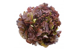 Salade feuille de chêne rouge AB (pièce)